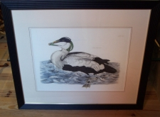 Eider male duck hand colored copper etching Prideau John Selby